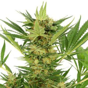 ak-47 strain strain of cannabis strain ak-47 strain of cannabis cannabis strain